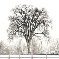 Elm in a Snowstorm