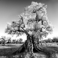 Ancient Olive Tree No. 2